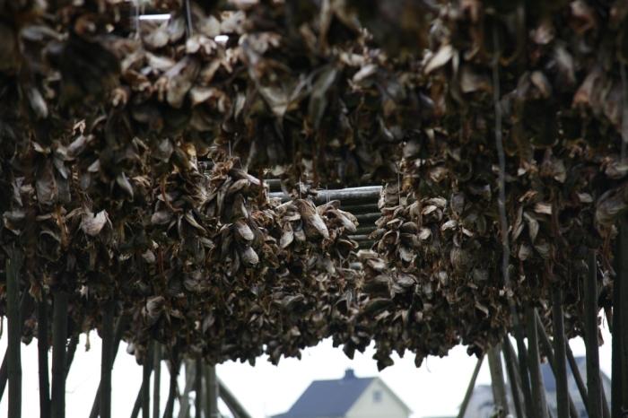 Vysušené rybacie hlavy v Å